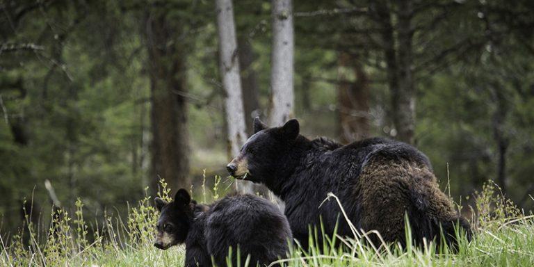Black bears in Yosemite