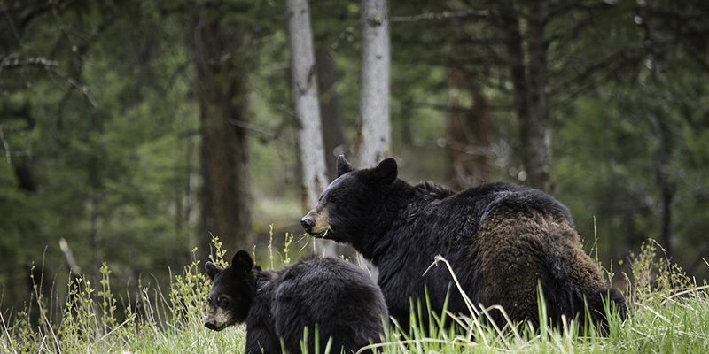Black bears in Yosemite